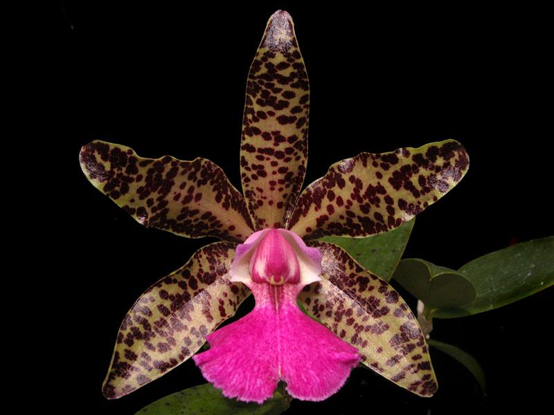 Cattleya Karol Wojtyla x Cattleya aclandiae