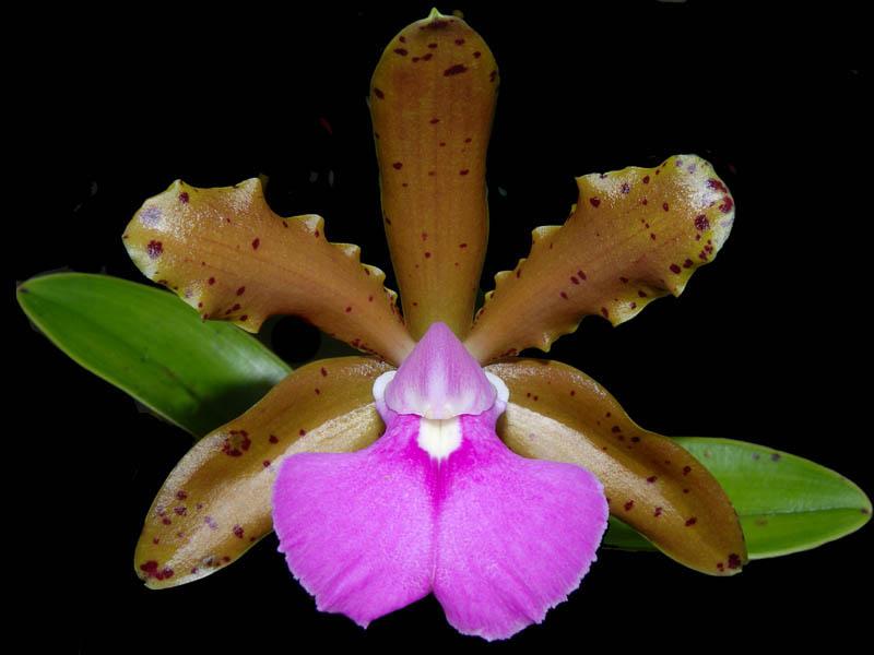 Cattleya Fascelis