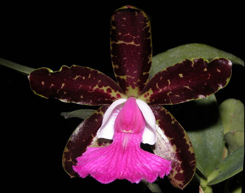 Cattleya Pradit Spot