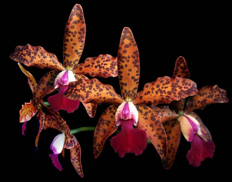 Cattleya preciousstones x Cattleya leopoldii